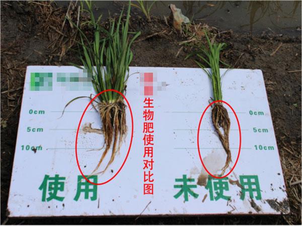使用江苏绿科枯草芽孢杆菌产品后的生长效果