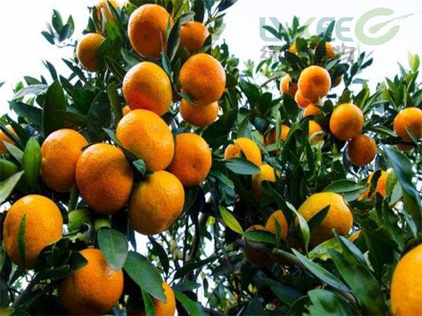 微生物菌剂种植柑橘