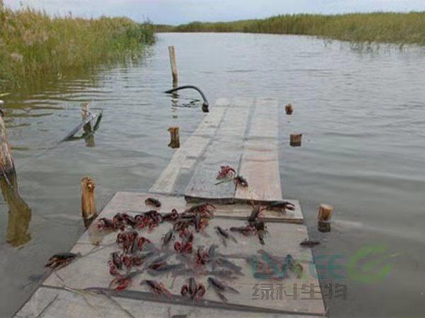 冬季龙虾养殖