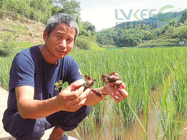 养殖稻田虾 (1)