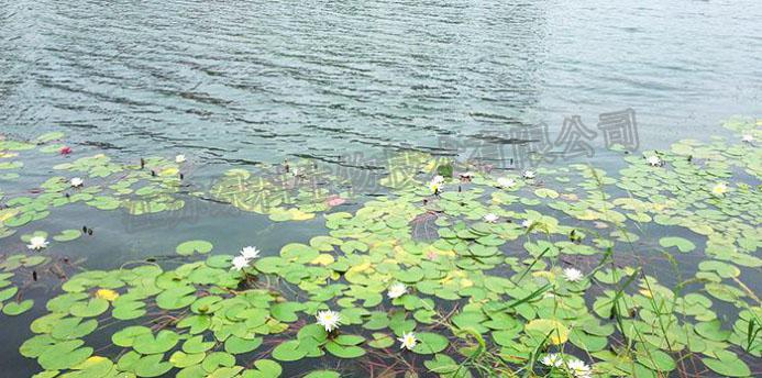 使用江苏绿科生物调水净水的生物环保菌剂后的效果图3