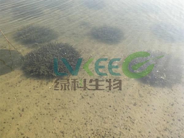 伊乐藻处理后水