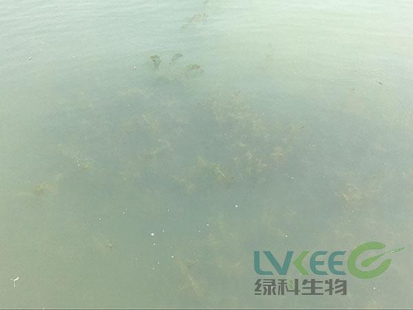水产养殖白对虾弧菌感染死亡处理后