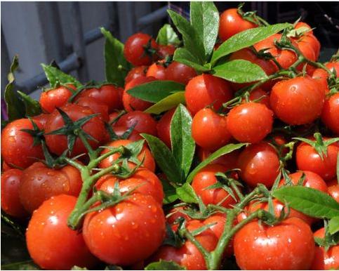 使用过江苏绿科的产品种植的新鲜西红柿