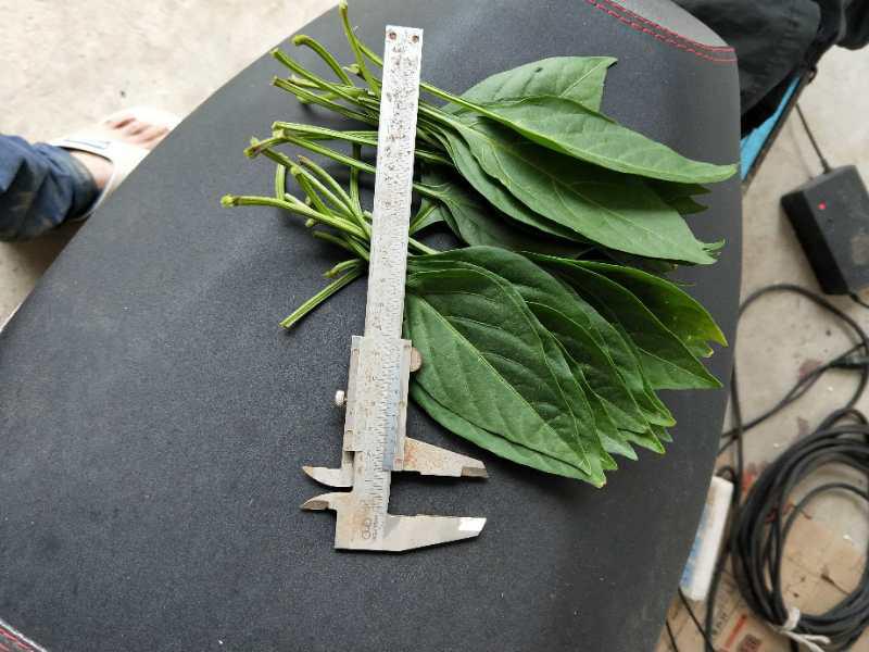 使用过江苏绿科产品叶片增大