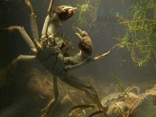 螃蟹养殖2