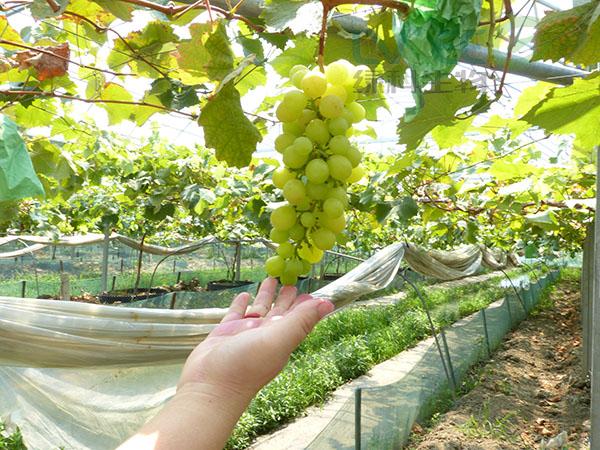种植葡萄复合益肥菌