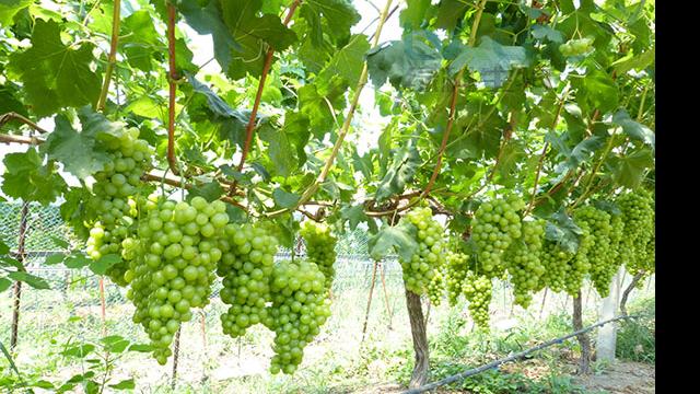 葡萄如何种植?葡萄高产用复合益肥菌?