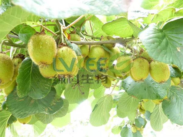 芽孢离心液种植猕猴桃