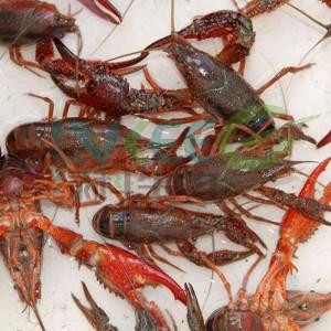 小龙虾肠炎处理方法与预防!