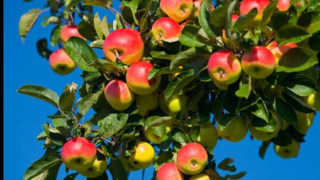 秋季果树施肥,记住两个70%!