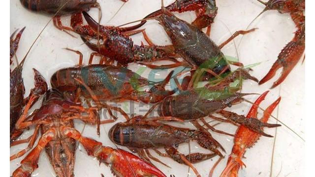 进入高温期,小龙虾养殖管理需要抓住这八个关键点!
