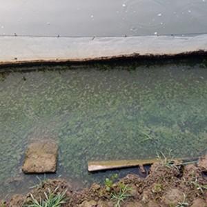 养殖泥鳅处理蓝藻方案--江苏绿科生物