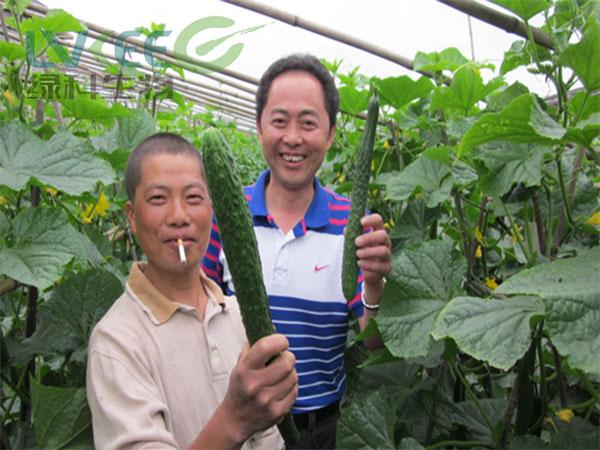 枯草农业黄瓜种植