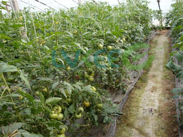 西红柿枯草芽孢杆菌种植