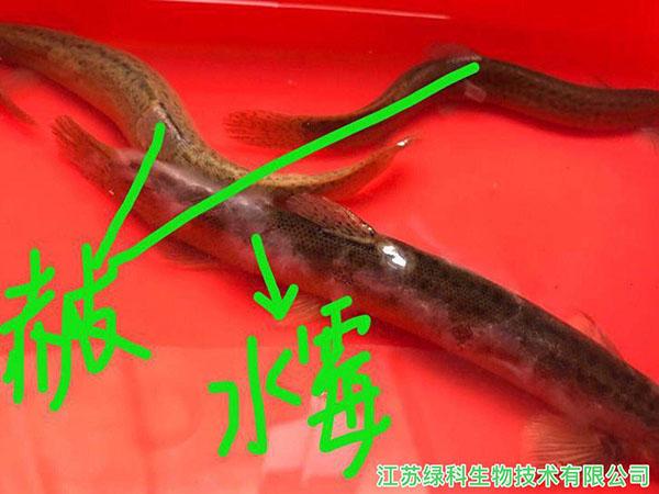 台鳅真菌感染图片