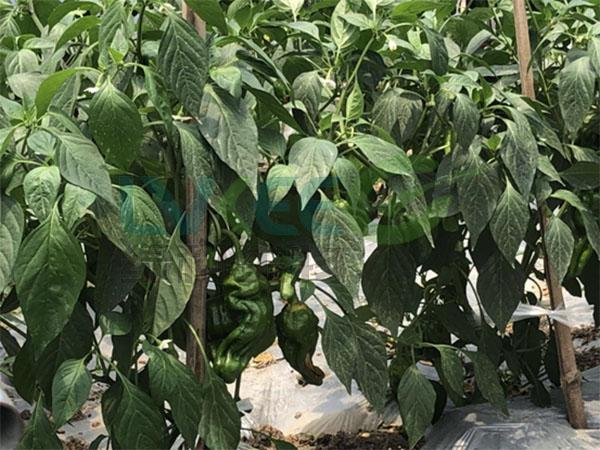 辣椒种植复合益肥菌