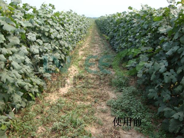 田间杂草未使用枯草芽孢杆菌前