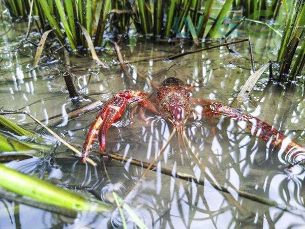 小龙虾养殖生长缓慢