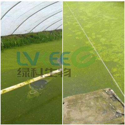 大棚池藻类上浮未处理