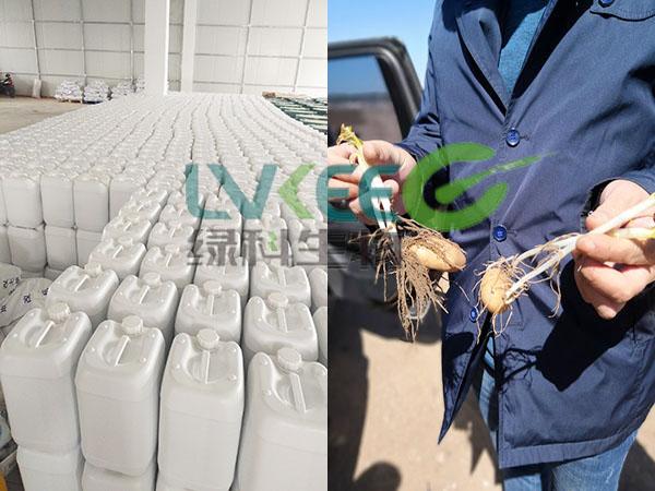 客户使用江苏绿科生物的芽孢离心液种植的土豆