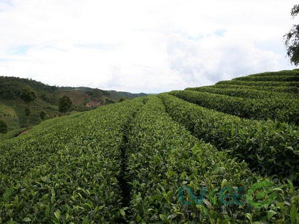 微生物菌剂种植茶树