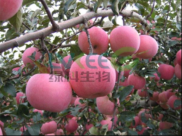 苹果种植枯草芽孢杆使用后
