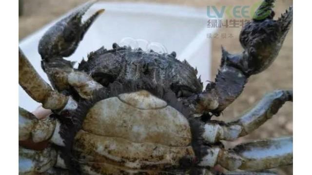 如何预防养殖后期河蟹黑底板纤毛虫!