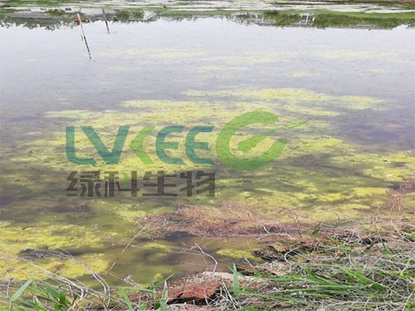 蓝藻危害图片