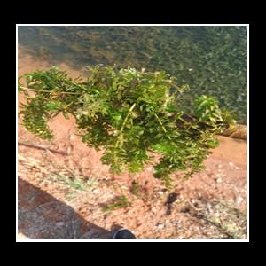 河蟹池塘绿水,水草挂脏处理方案-江苏绿科生物