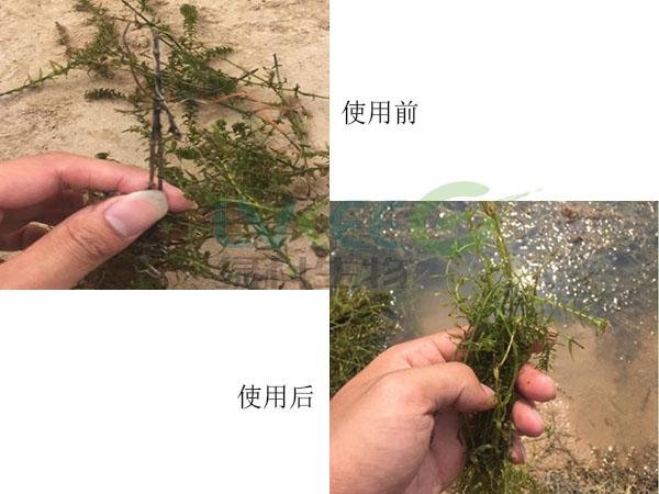 杀虫剂剂量过大,水草问题处理