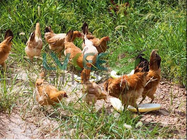 生物饲料发酵剂发酵后喂鸡