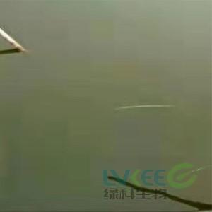 鳜鱼塘口老绿水如何处理,绿科生物告诉你!