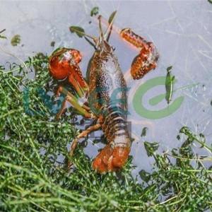 用菌治虾!用菌不难,难在选菌?