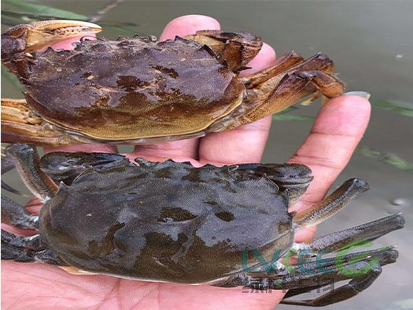 螃蟹缺氧处理后