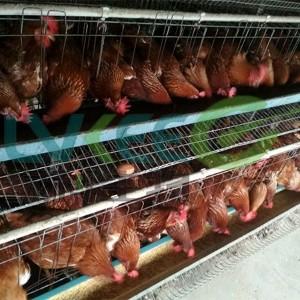 绿科生物枯草芽孢杆菌应用于畜禽蛋鸡养殖场会怎么样呢?