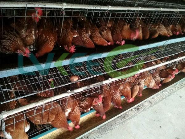 枯草芽孢杆菌养殖鸡