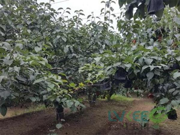 复合益肥菌梨树种植