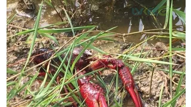 为什么春季龙虾会死亡?该怎么预防呢?