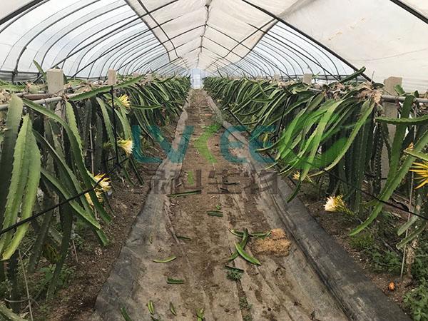 火龙果种植基地