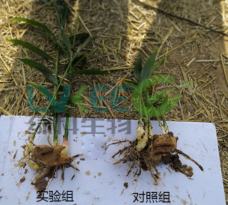 种植生姜用枯草芽孢杆菌