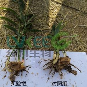 枯草芽孢杆菌种植生姜使用得到实际效果案例!