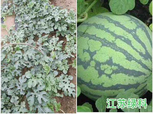 复合芽孢杆菌种植西瓜